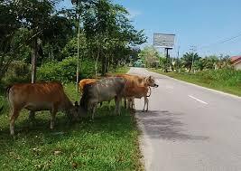 PERDES No 5 Tahun 2019 Tentang Penertiban dan Pemeliharaan Hewan Ternak